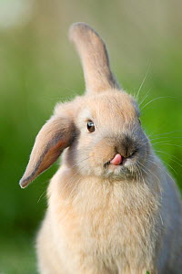 Mini lop-eared domestic rabbit with one ear up and one ear down, and tongue sticking out, Captive, Christchurch, New Zealand - Andrew Walmsley