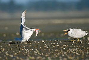 Adult Caspian tern (Hydroprogne caspia) feeding fish to chick, New Zealand, January  -  Andrew Walmsley