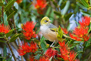 Silver eye / Grey backed white eye (Zosterops lateralis) in flowering Pohutukawa tree (Metrosideros excelsa) Botanic Gardens, Christchurch, South Island, New Zealand, December  -  Andrew  Walmsley