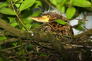 Bare-throated Tiger-Heron (Tigrisoma mexicanum)chick in nest ready to fledge. Tortuguero National Park, Costa Rica.  -  Mary McDonald