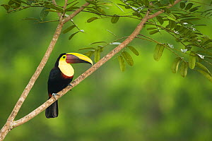 Chestnut-mandibled Toucan (Ramphastos ambiguus swainsonii) adult bird perched on the edge of the forest. Laguana del Lagarto, Costa Rica, Central America.  -  Mary McDonald