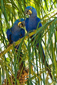 Hyacinth Macaws  (Anodorhynchus hyacinthinus) pair perched in Palm tree, the Pantanal, Brazil, South America. - Mary McDonald
