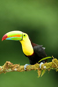Keel-billed Toucan (Ramphastos sulfuratus) adult in full breeding plumage on a tree limb at the edge of the lowland rainforest. Laguana del Lagarto, Costa Rica, Central America.  -  Mary McDonald