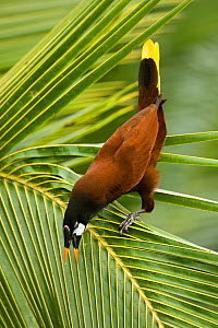 Montezuma's Oropendola (Psarocolius oropendola)perched on a Palm frond, calling, Arenal Observatory Lodge, Arenal Volcano, Costa Rica.  -  Mary McDonald