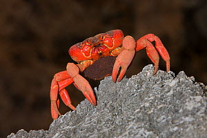 Christmas Island Red Crab (Gecarcoidea natalis) female carrying eggs on migration, shortly before spawning, Christmas Island, Indian Ocean, Australian Territory  -  Ingo Arndt