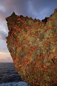 Christmas Island Red Crabs (Gecarcoidea natalis) arrived at coast for spawning, Christmas Island, Indian Ocean, Australian Territory  -  Ingo Arndt