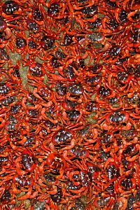 Christmas Island Red Crabs (Gecarcoidea natalis) arriving in huge numbers, at coast for spawning, Christmas Island, Indian Ocean, Australian Territory  -  Ingo Arndt