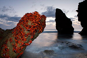 Christmas Island Red Crabs (Gecarcoidea natalis) shortly before sunrise sitting on rock ready for spawning, Christmas Island, Indian Ocean, Australian Territory  -  Ingo Arndt