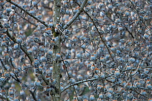 Flock of Bramblings (Fringilla montifringilla) roosting together in branches. It's estimated that four  million individiuals roost in the Black Forest, during winter months, Germany. February.  -  Ingo Arndt