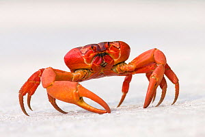 Christmas Island Red Crab (Gecarcoidea natalis) portrait standing on white surface, Christmas Island, Indian Ocean, Australian Territory.  -  Ingo Arndt