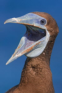 Brown Booby (Sula leucogaster plotus) head portrait, with wide bill open, Christmas Island, Indian Ocean, Australian Territory, November - Ingo Arndt