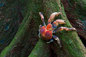 Robber Crab (Birgus latro) climbing over buttress roots, in tropical forest,  Christmas Island, Indian Ocean, Australian Territory  -  Ingo Arndt