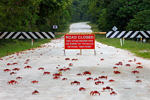Christmas Island Red Crabs (Gecarcoidea natalis) crossing closed road, during annual migration, Christmas Island, Indian Ocean, Australian Territory, November 2009. - Ingo Arndt