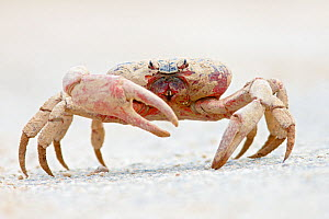 Christmas Island Red Crab (Gecarcoidea natalis) dirty after walking through a phosphate mining area crossing road during annual migration,  Christmas Island, Indian Ocean, Australian Territory  -  Ingo Arndt