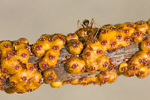 Yellow crazy ant (Anoplolepis gracilipes) receiving nutrition from scale insect, Christmas Island, Indian Ocean, Australian Territory - Ingo Arndt