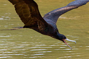 Great frigatebird (Fregata minor listeri) drinking freshwater on the wing, Christmas Island, Indian Ocean, Australian Territory, November  -  Ingo Arndt
