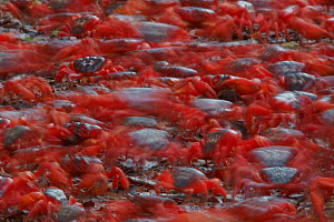 Christmas Island Red Crab (Gecarcoidea natalis) blurred view of vast number of individuals moving along their annual migration route, Christmas Island, Indian Ocean, Australian Territory  -  Ingo Arndt