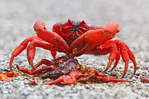 Christmas Island Red Crab (Gecarcoidea natalis)  feeding on the remains of another crab crushed on the road, Christmas Island, Indian Ocean, Australian Territory  -  Ingo Arndt