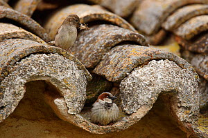 Common sparrow (Passer domesticus) male and female on roof tiles, Ciudad Real, Spain, May  -  Jose Luis GOMEZ de FRANCISCO