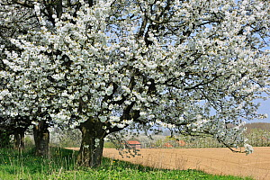 Orchard with Cherry trees in blossom (Prunus / Cerasus avium) Haspengouw, Belgium  -  Philippe Clement