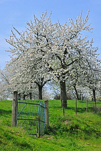Orchard with Cherry trees flowering (Prunus / Cerasus avium) Haspengouw, Belgium  -  Philippe Clement