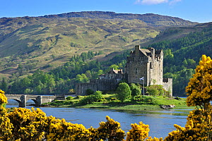 Eilean Donan Castle, with flowering Gorse (Ulex) Loch Duich in the Western Highlands of Scotland, UK, May 2010  -  Philippe Clement