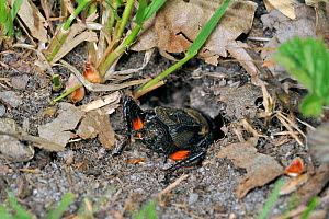 Field cricket (Gryllus campestris) leaving burrow backwards, La Brenne, France  -  Philippe Clement
