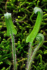 Hart's Tongue fern (Asplenium scolopendrium) fronds unfurling in spring, Luxembourg, Europe.  -  Philippe Clement