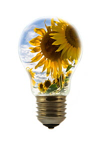 Sunflowers (Helianthus annuus) inside incandescent lamp / bulb against white background Digital composite - Philippe Clement