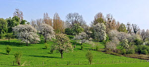 Orchard with fruit trees blossoming in spring, Haspengouw, Belgium  -  Philippe Clement