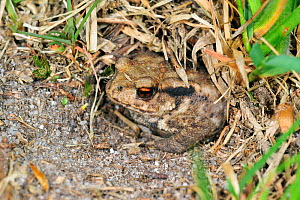 Common European toad (Bufo bufo) juvenile hiding in Field cricket's burrow (Gryllus campestris) La Brenne, France  -  Philippe Clement