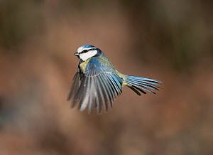 Blue tit (Parus caeruleus) in flight, Peak District, England, UK. March.  -  Paul Hobson