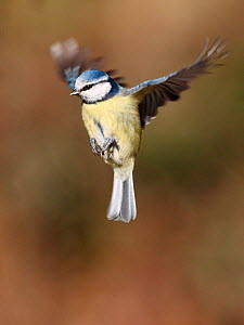 Blue tit (Parus caeruleus) flying in position to land, South Yorkshire, England, UK. March.  -  Paul Hobson