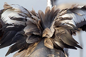 Common crane, (Grus grus) rear view of tail feathers, Lake Hornborga, Sweden. April. - Paul Hobson