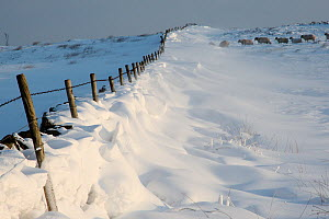 Snow drift against dry stone wall field boundary, Fox house, Peak District, England, UK. January 2010. - Paul Hobson