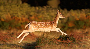 Fallow Deer (Cervus dama) young male running, Leicestershire, England, UK - Paul Hobson