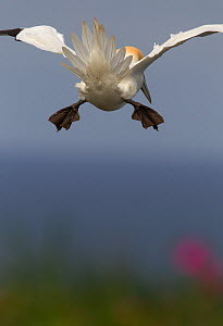 Gannet, (Morus bassanus) rear view, flying into head wind, tail used as break, Yorkshire coastline, England. UK. May. - Paul Hobson
