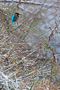 Kingfisher (Alcedo atthis) perched on snow covered tree branch, Yorkshire, England, UK. December.  -  Paul Hobson