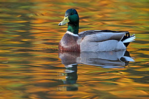 Mallard drake (Anas platyrhynchos) male on water, with autumn colours reflecting. Lancashire, England, UK. November.  -  Paul Hobson