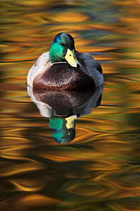Mallard drake (Anas platyrhynchos) portrait of male on water, with autumn colours reflecting. Lancashire, England, UK. November.  -  Paul Hobson