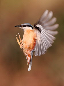 Nuthatch (Sitta europaea) in flight, and preparing to land, South Yorkshire, England, UK. March.  -  Paul Hobson