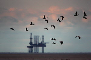 Flock of Pink Footed geese (Anser brachyrhynchus) flying low over Liverpool bay, with gas rig behind. England, UK. November.  -  Paul Hobson