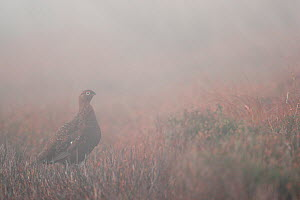 Red grouse (Lagopus lagopus scoticus) male standing on open moorland, in mist, Peak district, England, UK. November.  -  Paul Hobson