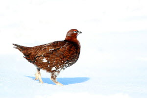 Red grouse (Lagopus lagopus scoticus) male standing on snow covered moorland, Peak district, England, UK. January.  -  Paul Hobson