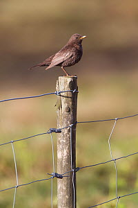 Ring Ouzel (Turdus torquatus) female perched on fence post, Peak District, England, UK. May.  -  Paul Hobson