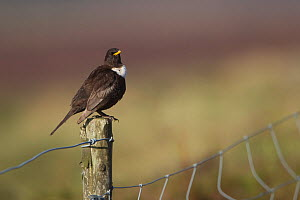 Ring Ouzel (Turdus torquatus) male perched on fence post, Peak District, England, UK. May.  -  Paul Hobson