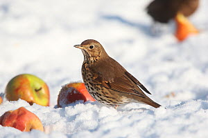 Song thrush (Turdus philomelos) on snow covered ground with apples, Peak District, England, UK. January.  -  Paul Hobson