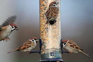 Tree sparrows (Passer montanus) males feeding at seed feeder, Derbyshire, England, UK. December. - Paul Hobson