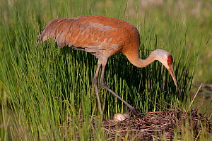 Greater Sandhill Crane (Grus canadensis tabida) settling down to incubate two eggs on mounded nest of reeds in wetland, southern Wisconsin, USA  -  Lynn M Stone