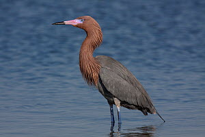 Reddish Egret (Egretta rufescens) standing in salt water bay; common red morph in breeding plumage; Tampa Bay, Florida, USA - Lynn M Stone